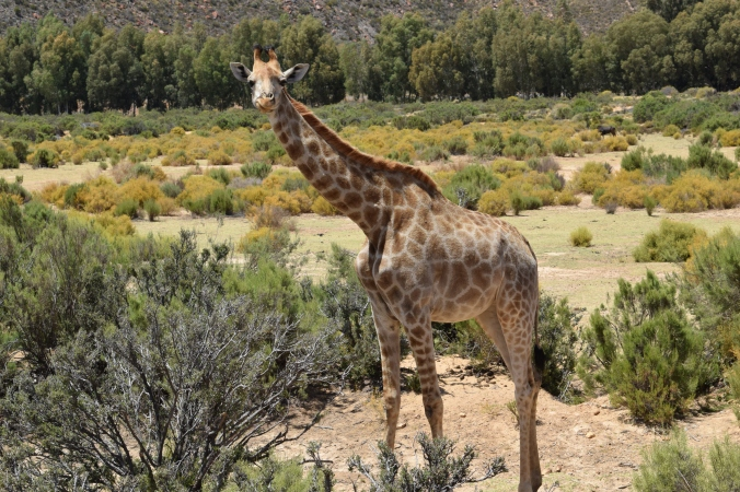 A giraffe looks on during a safari at the Aquila Game Reserve in Cape Town, South Africa